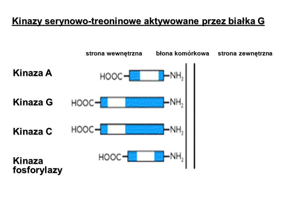 Kinazy serynowo-treoninowe aktywowane przez białka G