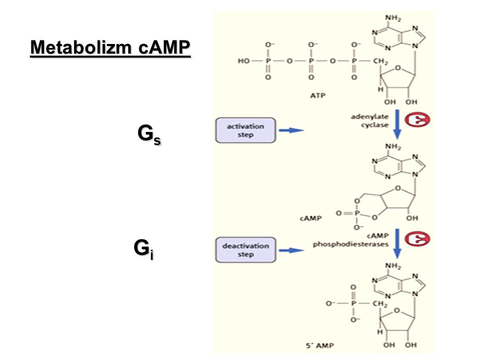 Metabolizm cAMP Gs Gi