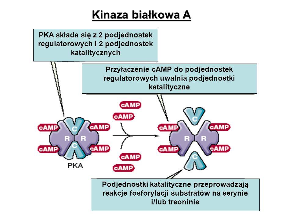 Kinaza białkowa A PKA składa się z 2 podjednostek regulatorowych i 2 podjednostek katalitycznych.