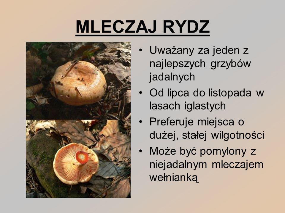 MLECZAJ RYDZ Uważany za jeden z najlepszych grzybów jadalnych