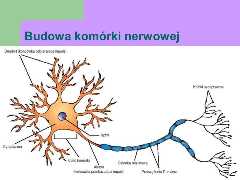 Budowa komórki nerwowej