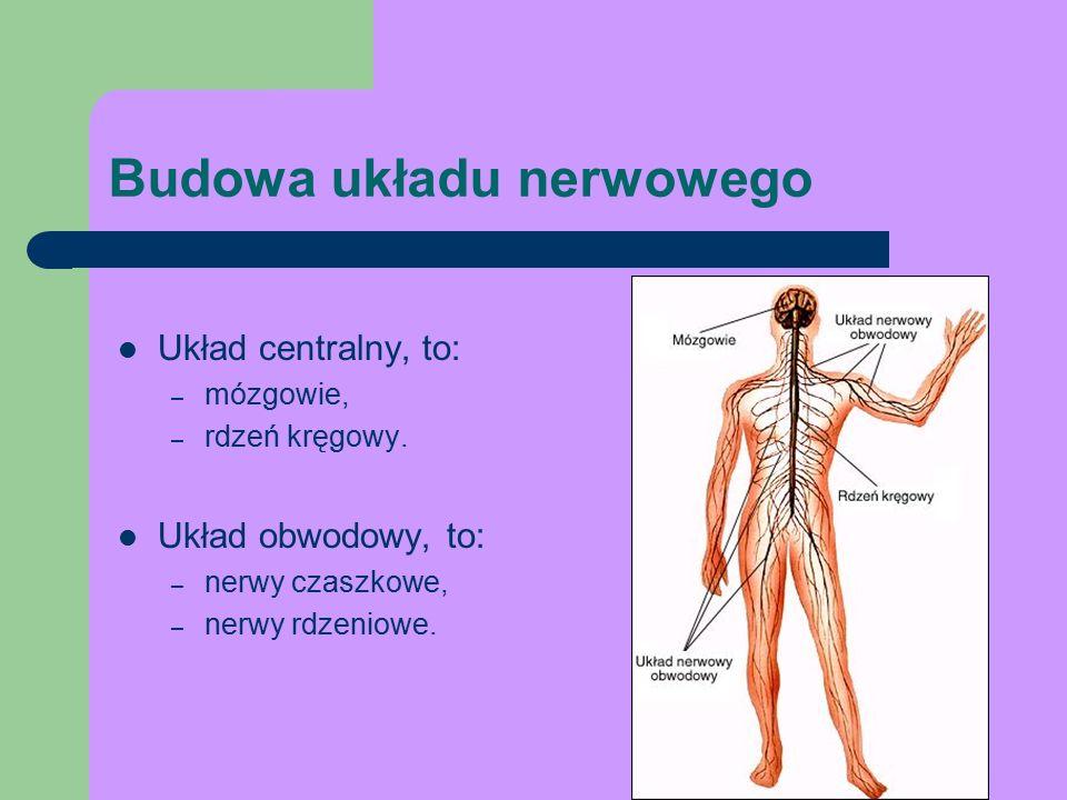 Budowa układu nerwowego