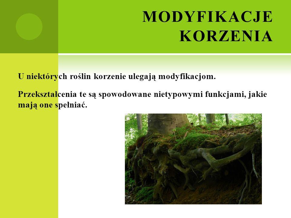 MODYFIKACJE KORZENIA U niektórych roślin korzenie ulegają modyfikacjom.