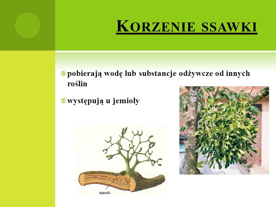 Korzenie ssawki pobierają wodę lub substancje odżywcze od innych roślin występują u jemioły