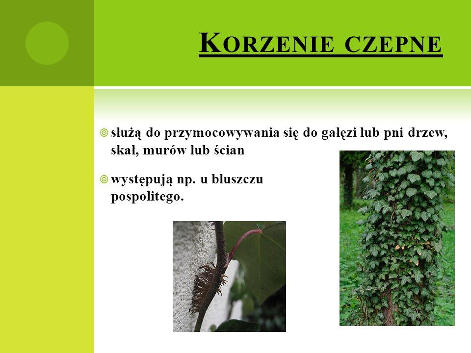 Korzenie czepne służą do przymocowywania się do gałęzi lub pni drzew, skał, murów lub ścian.