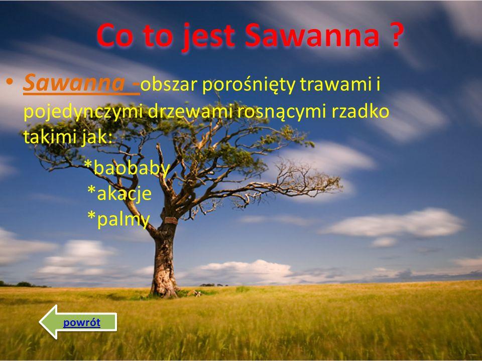 Co to jest Sawanna Sawanna -obszar porośnięty trawami i pojedynczymi drzewami rosnącymi rzadko takimi jak:
