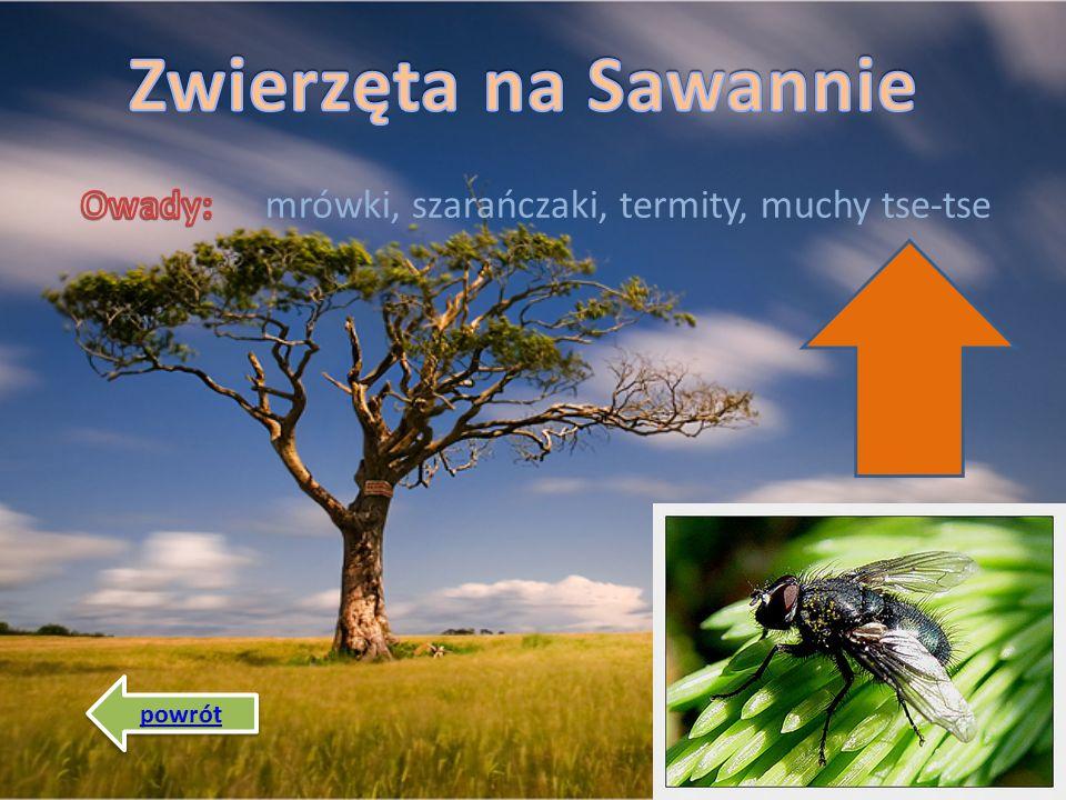 Zwierzęta na Sawannie mrówki, szarańczaki, termity, muchy tse-tse