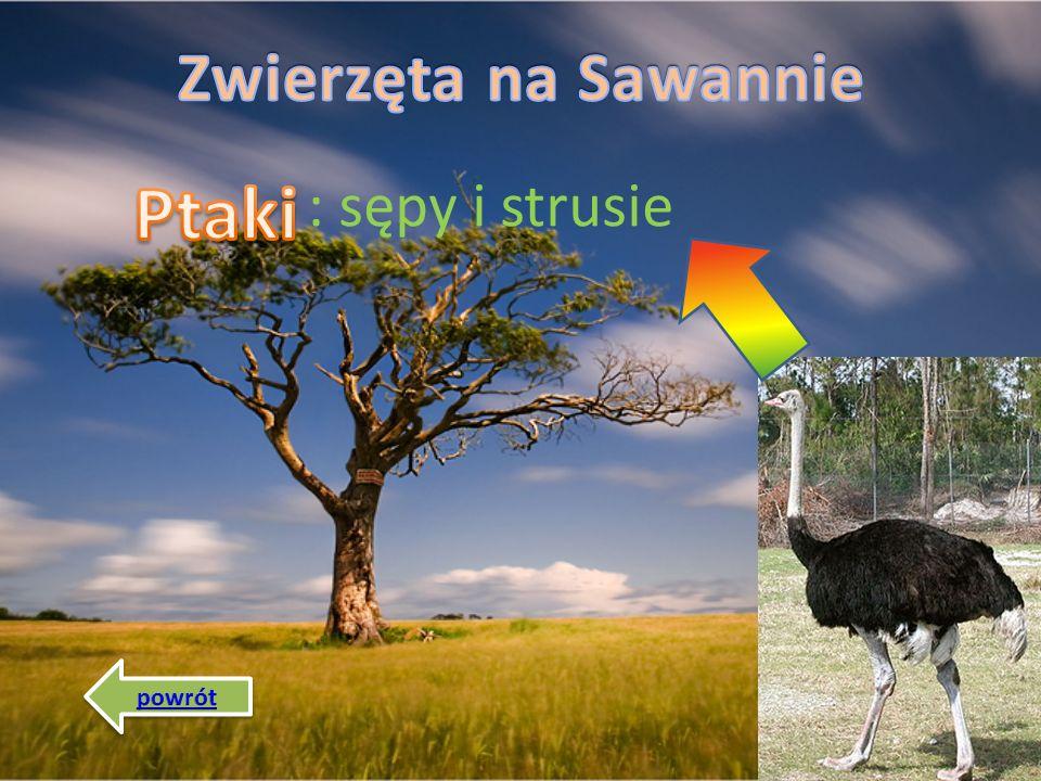 Zwierzęta na Sawannie : sępy i strusie Ptaki powrót