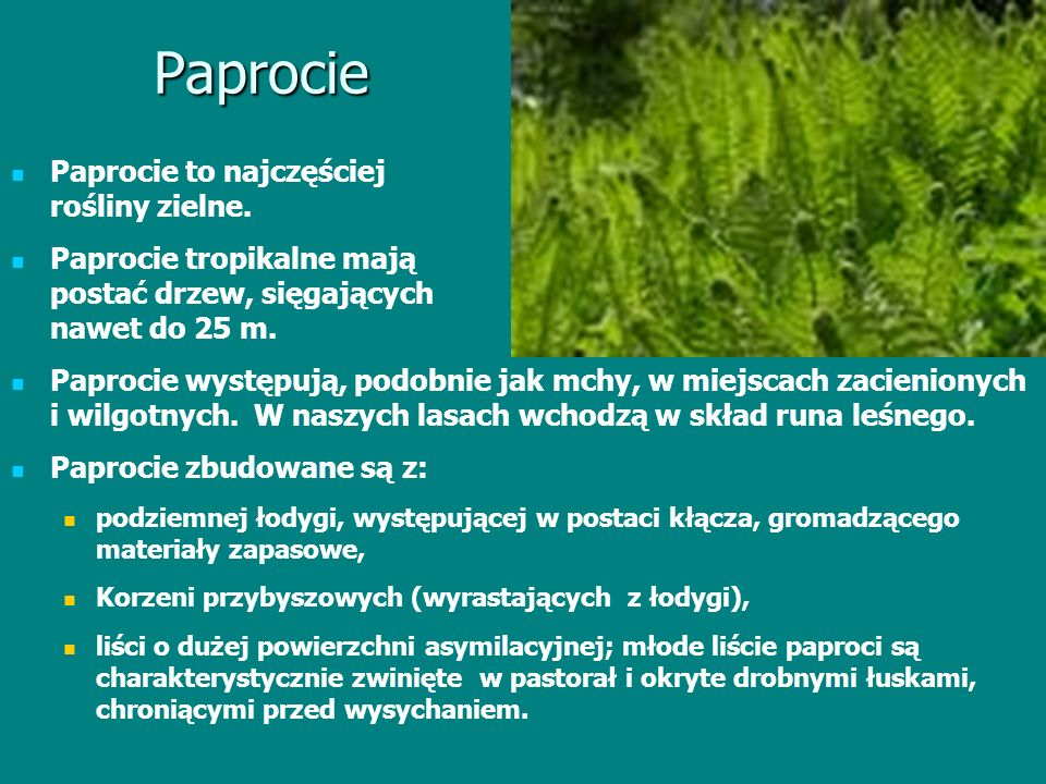 Paprocie Paprocie to najczęściej rośliny zielne.