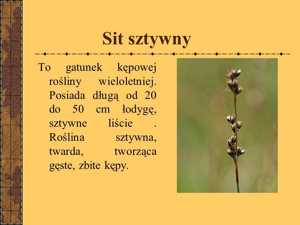 Sit sztywny