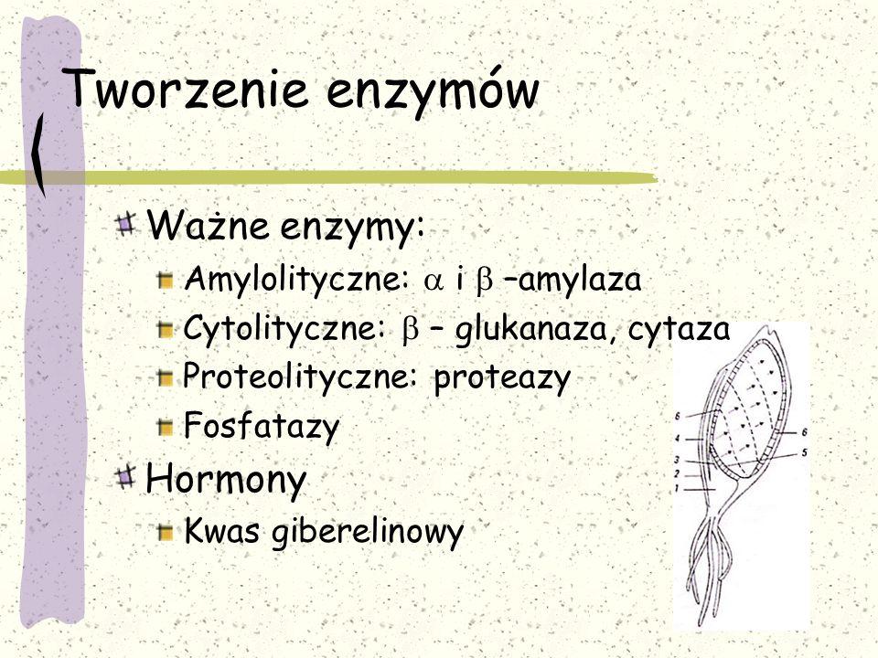 Tworzenie enzymów Ważne enzymy: Hormony Amylolityczne: a i b –amylaza