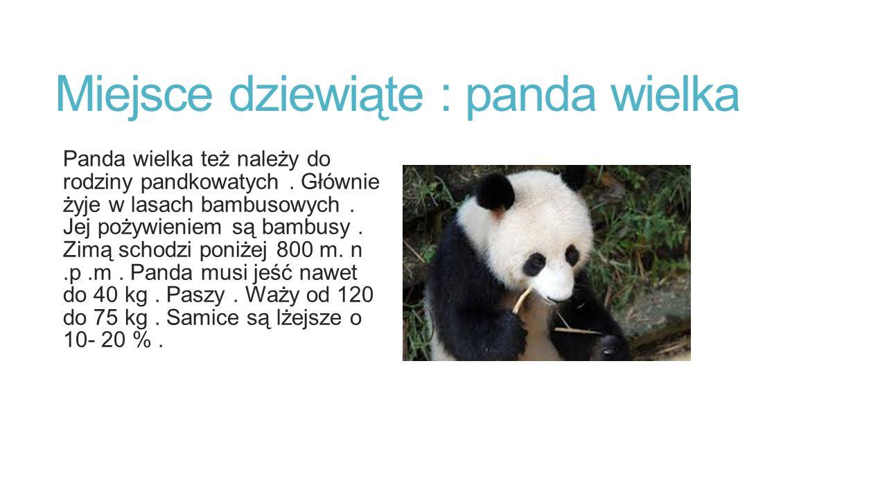 Miejsce dziewiąte : panda wielka