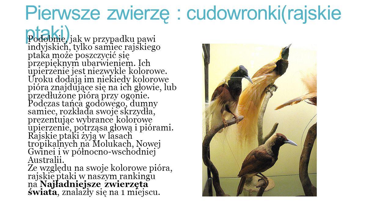 Pierwsze zwierzę : cudowronki(rajskie ptaki)