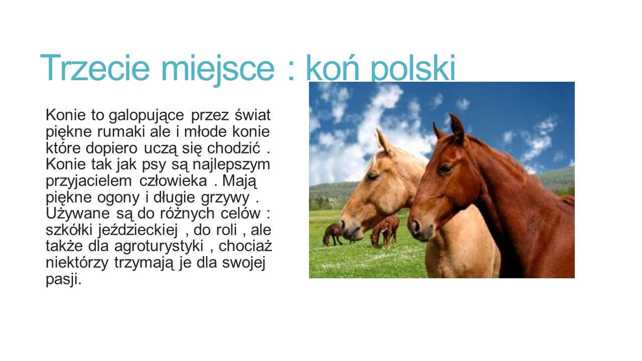 Trzecie miejsce : koń polski