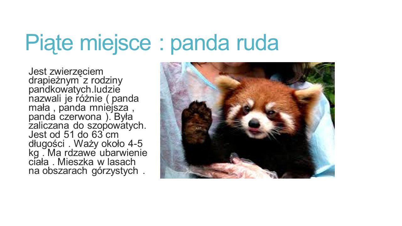 Piąte miejsce : panda ruda