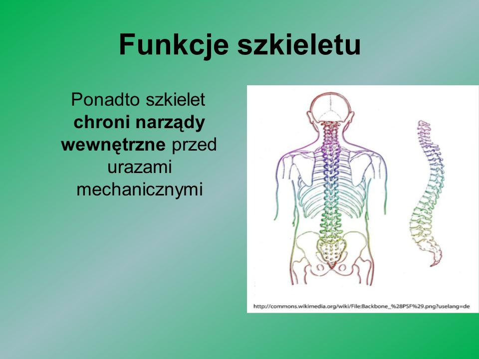 Ponadto szkielet chroni narządy wewnętrzne przed urazami mechanicznymi