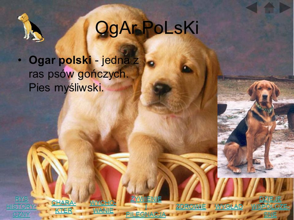 OgAr PoLsKi Ogar polski - jedna z ras psów gończych. Pies myśliwski.