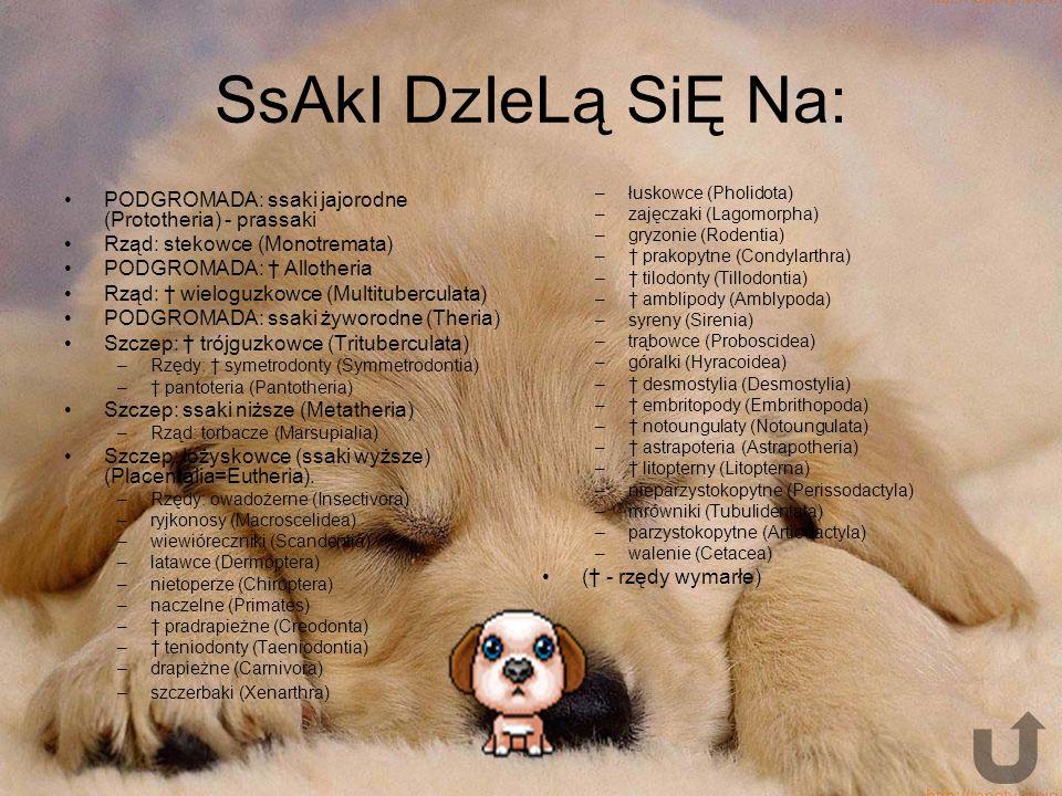 SsAkI DzIeLą SiĘ Na: PODGROMADA: ssaki jajorodne (Prototheria) - prassaki. Rząd: stekowce (Monotremata)