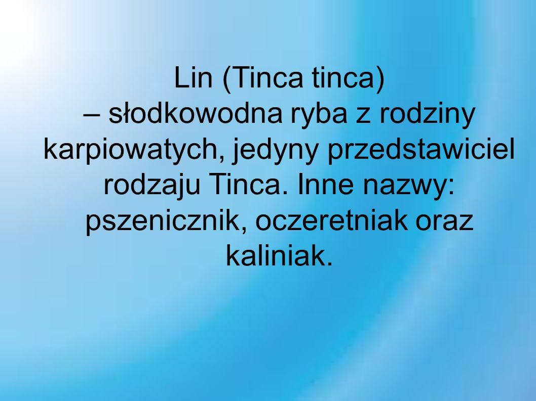 Lin (Tinca tinca) – słodkowodna ryba z rodziny karpiowatych, jedyny przedstawiciel rodzaju Tinca.