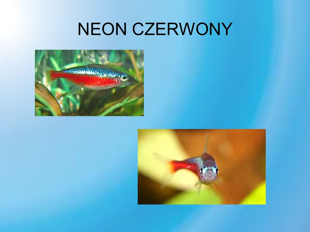 NEON CZERWONY