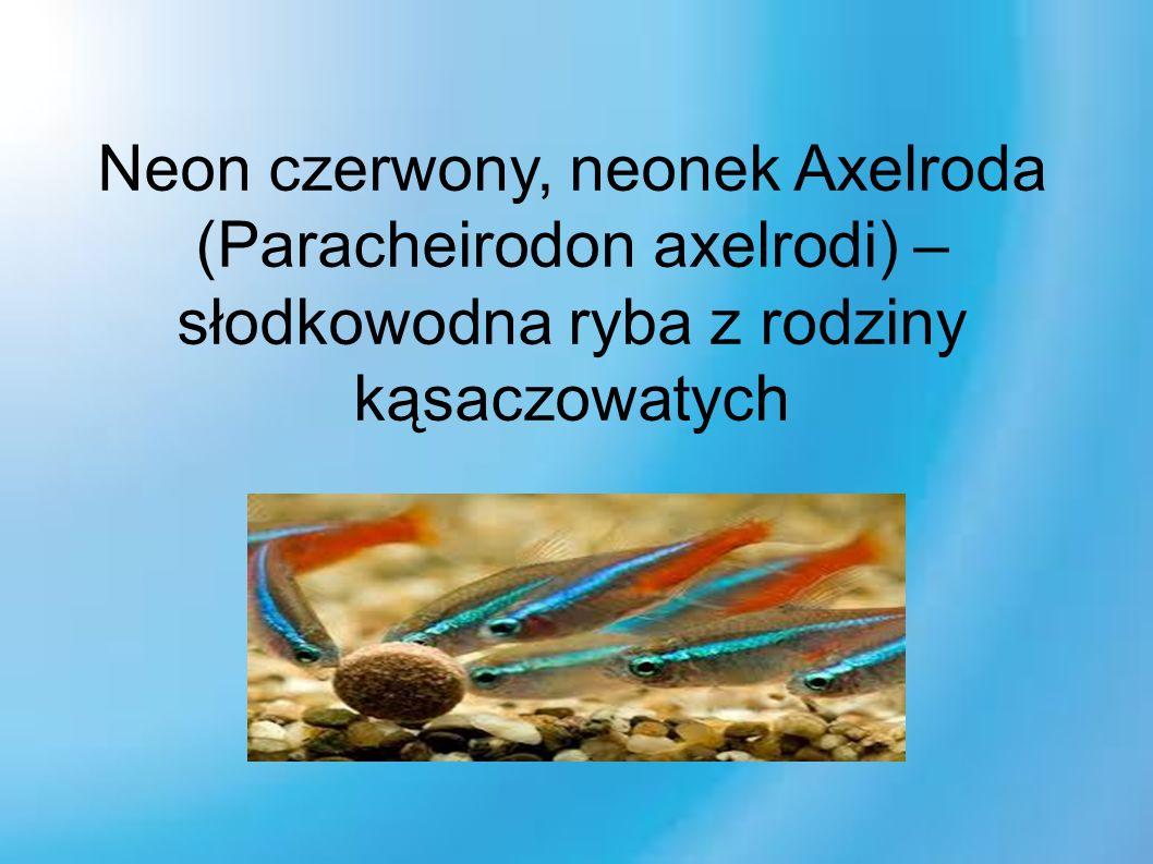 Neon czerwony, neonek Axelroda (Paracheirodon axelrodi) – słodkowodna ryba z rodziny kąsaczowatych