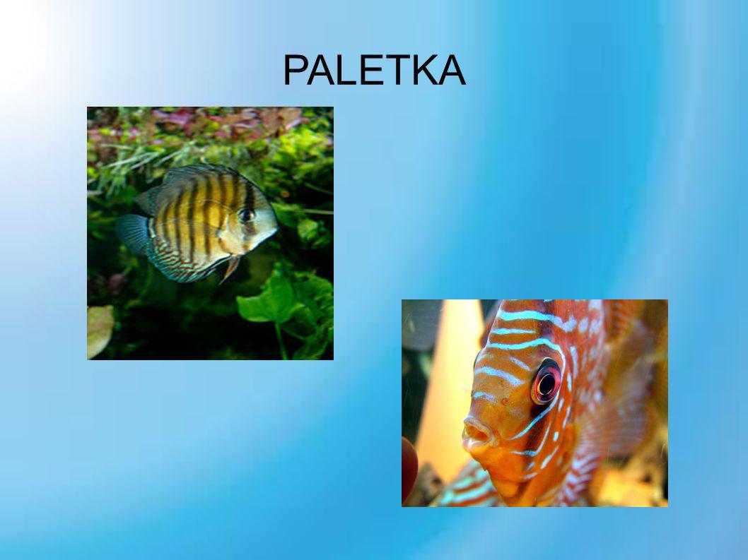 PALETKA