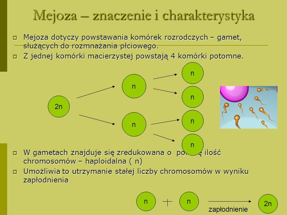 Mejoza – znaczenie i charakterystyka