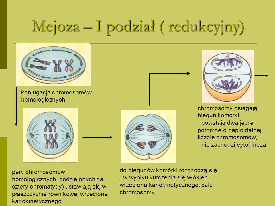 Mejoza – I podział ( redukcyjny)