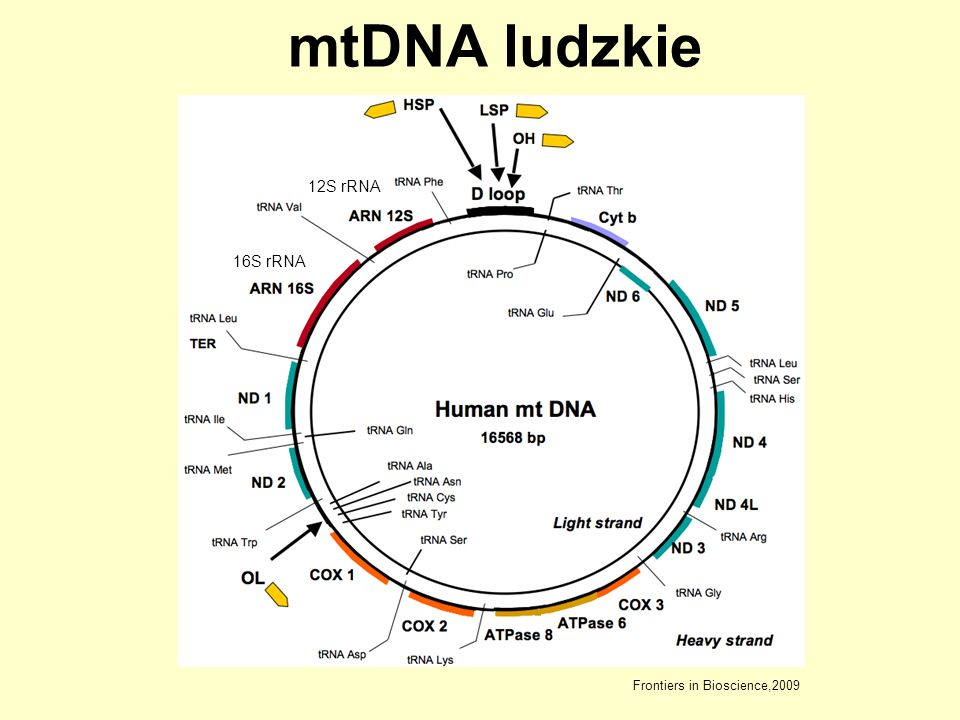 mtDNA ludzkie 12S rRNA 16S rRNA Frontiers in Bioscience,2009