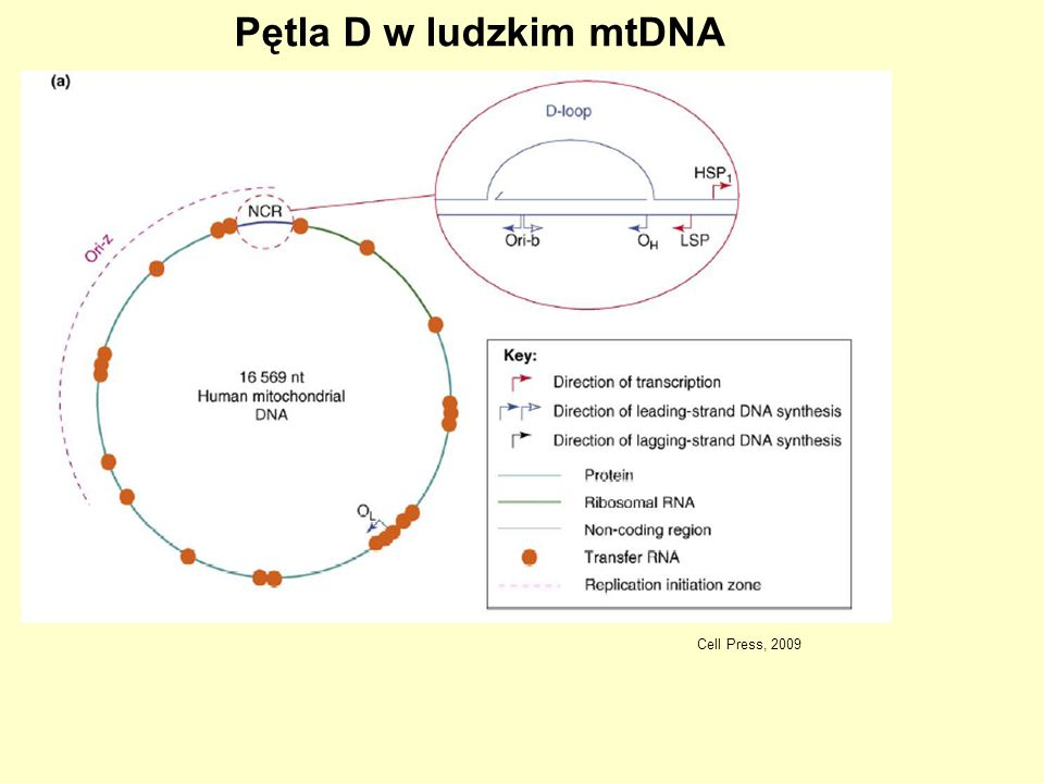 Pętla D w ludzkim mtDNA Cell Press, 2009