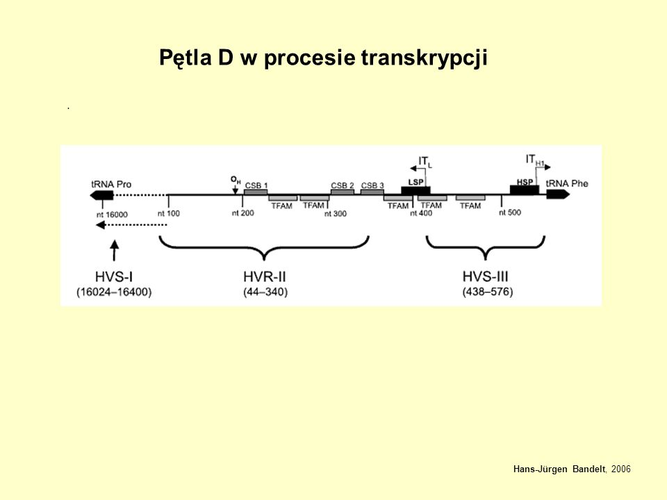 Pętla D w procesie transkrypcji