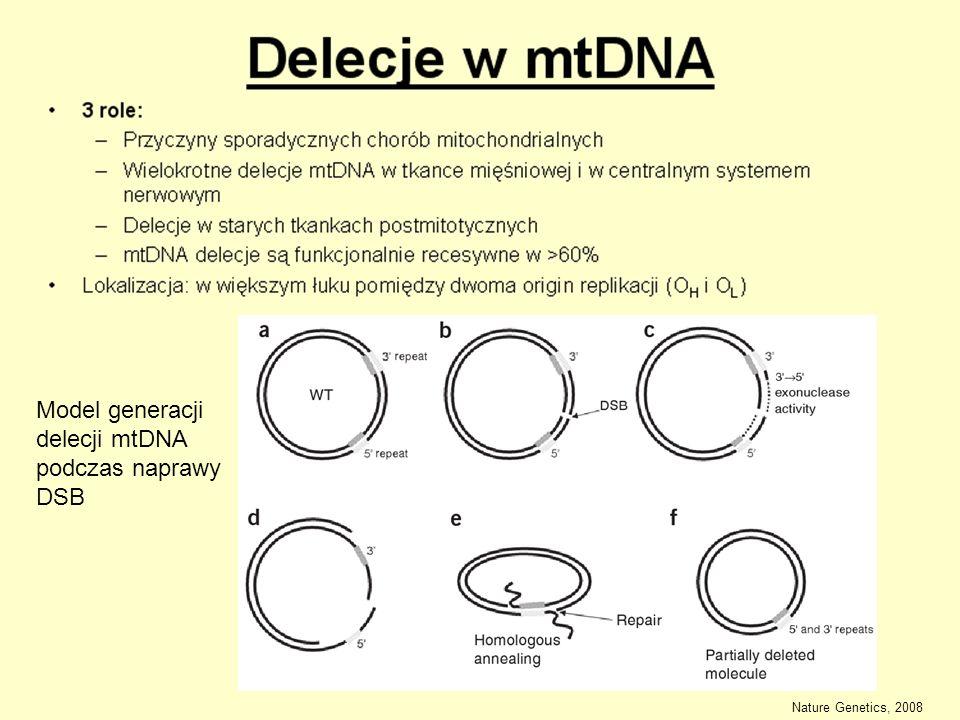 Model generacji delecji mtDNA podczas naprawy DSB