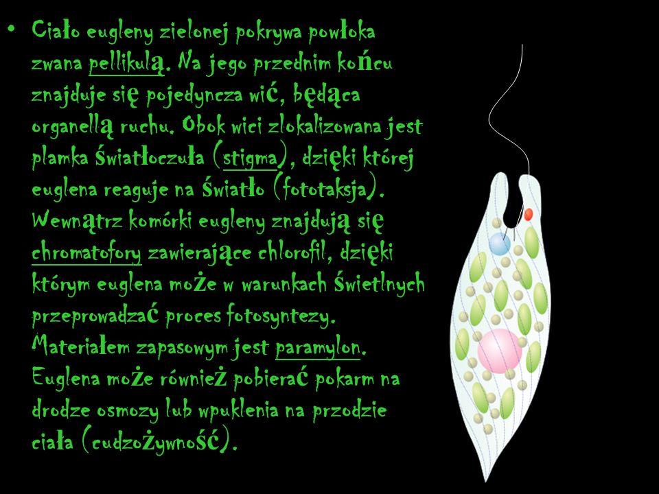 Ciało eugleny zielonej pokrywa powłoka zwana pellikulą