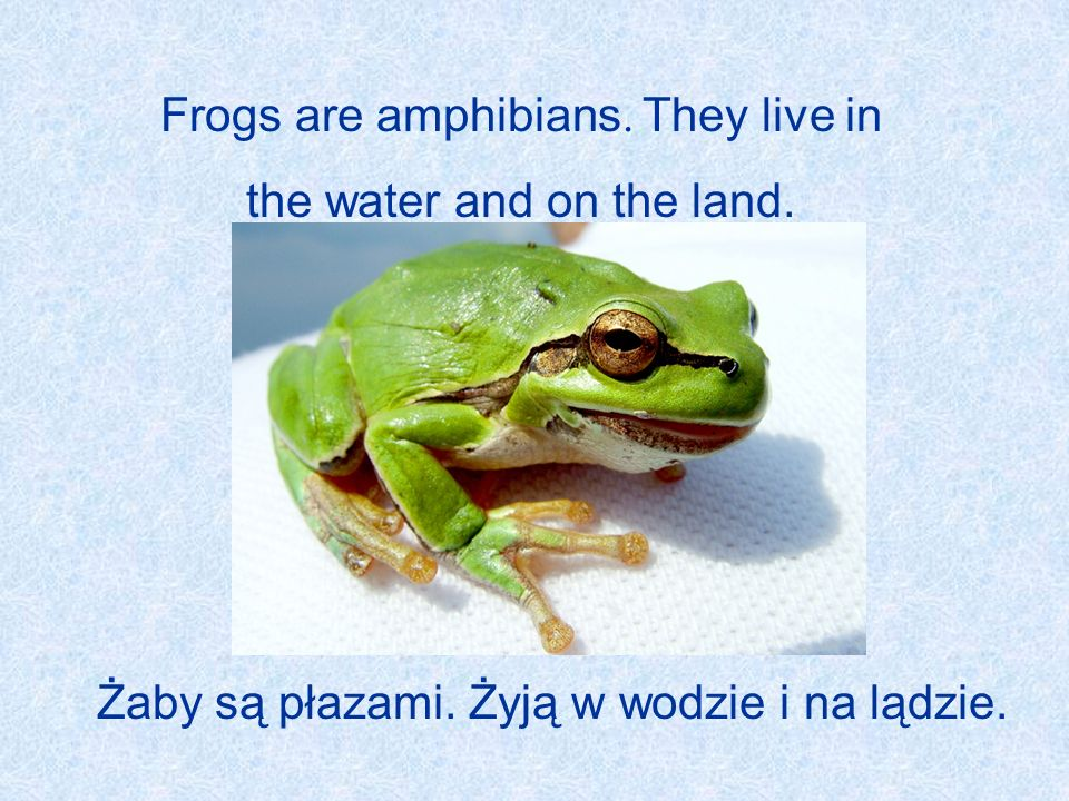 Frogs are amphibians. They live in the water and on the land.