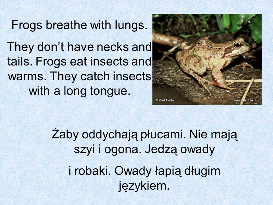 Frogs breathe with lungs.