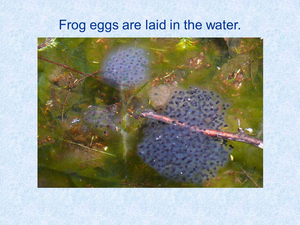 Frog eggs are laid in the water.