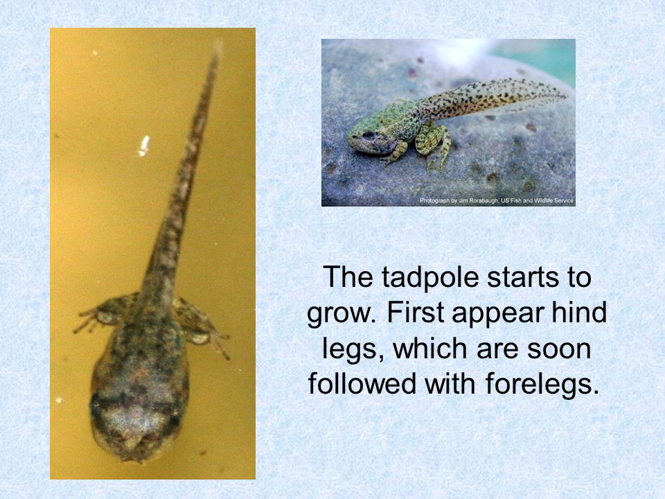 The tadpole starts to grow