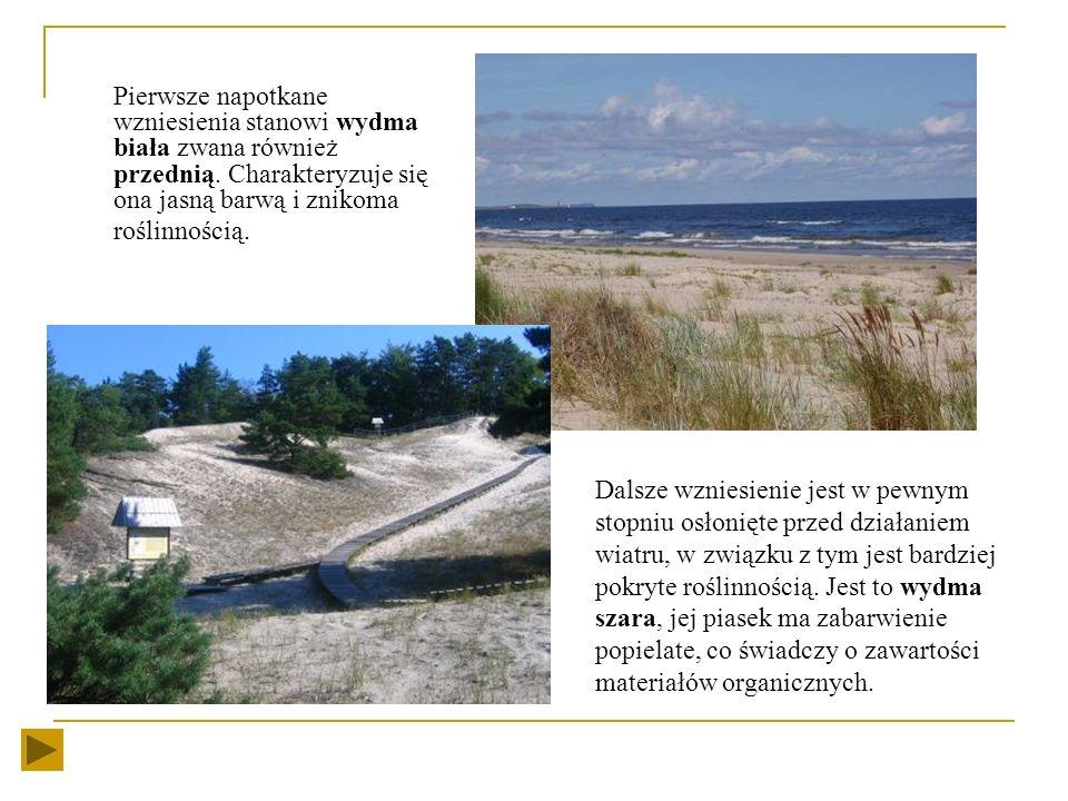 Pierwsze napotkane wzniesienia stanowi wydma biała zwana również przednią. Charakteryzuje się ona jasną barwą i znikoma roślinnością.