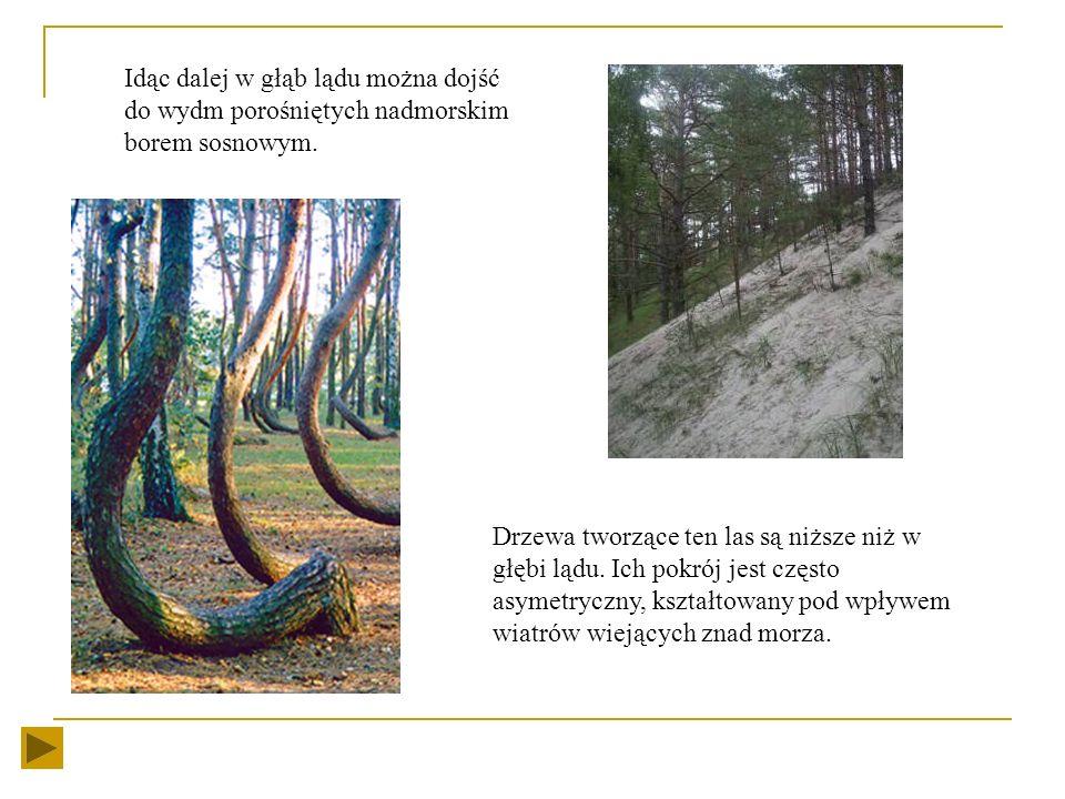 Idąc dalej w głąb lądu można dojść do wydm porośniętych nadmorskim borem sosnowym.