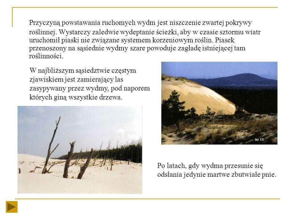 Przyczyną powstawania ruchomych wydm jest niszczenie zwartej pokrywy roślinnej. Wystarczy zaledwie wydeptanie ścieżki, aby w czasie sztormu wiatr uruchomił piaski nie związane systemem korzeniowym roślin. Piasek przenoszony na sąsiednie wydmy szare powoduje zagładę istniejącej tam roślinności.