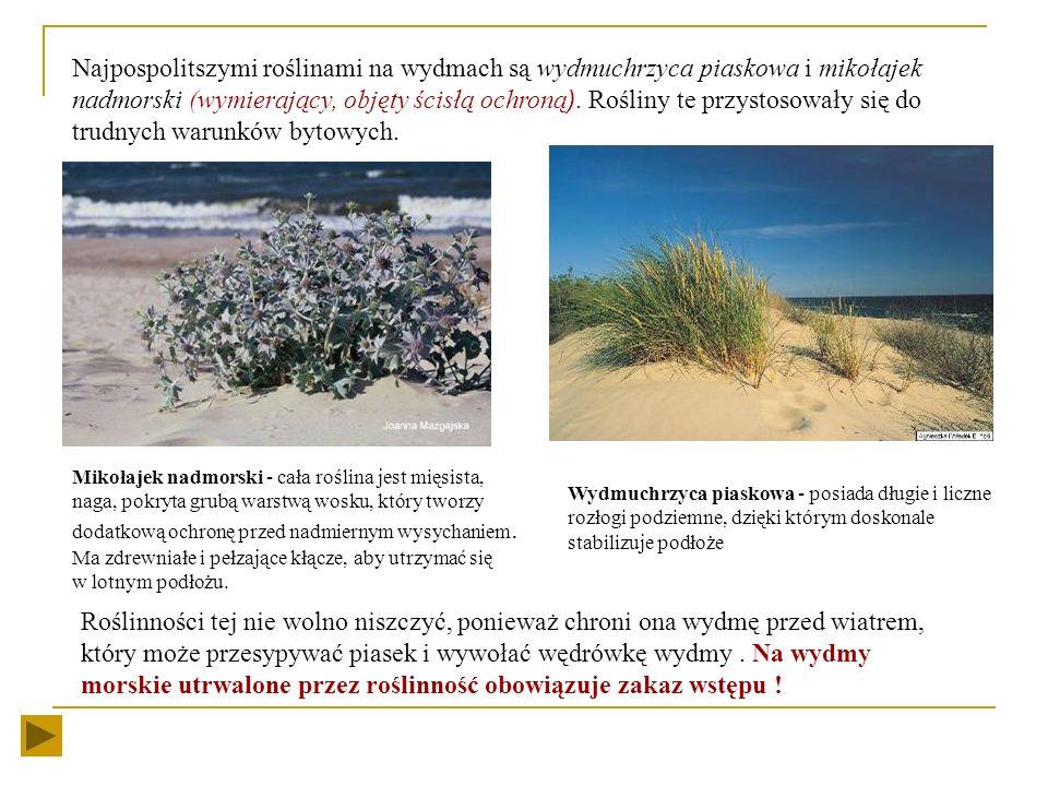 Najpospolitszymi roślinami na wydmach są wydmuchrzyca piaskowa i mikołajek nadmorski (wymierający, objęty ścisłą ochroną). Rośliny te przystosowały się do trudnych warunków bytowych.