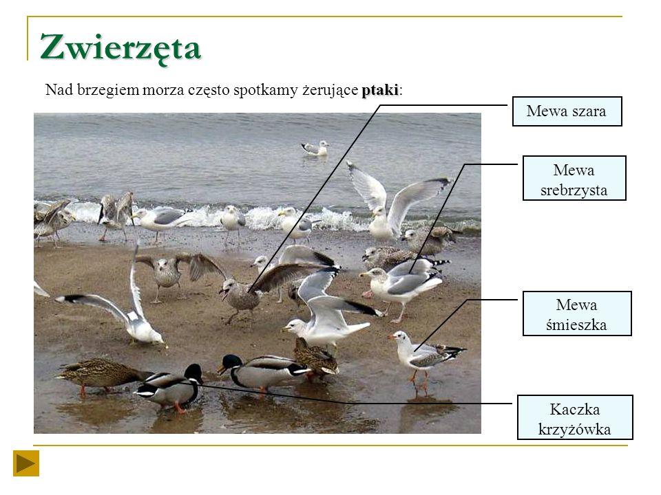 Zwierzęta Nad brzegiem morza często spotkamy żerujące ptaki: