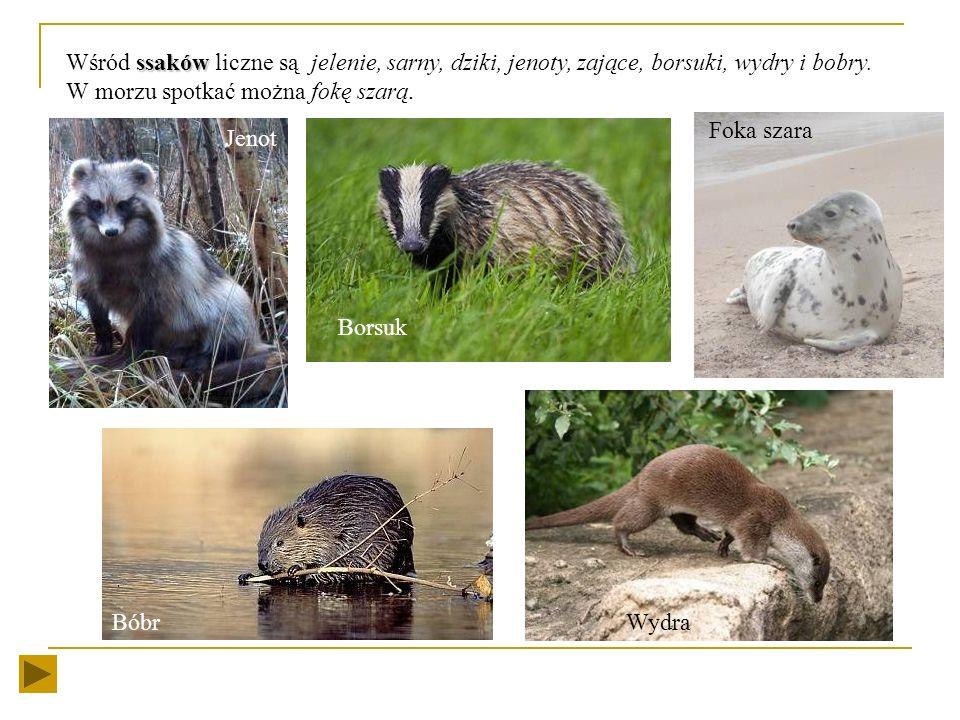 Wśród ssaków liczne są jelenie, sarny, dziki, jenoty, zające, borsuki, wydry i bobry. W morzu spotkać można fokę szarą.