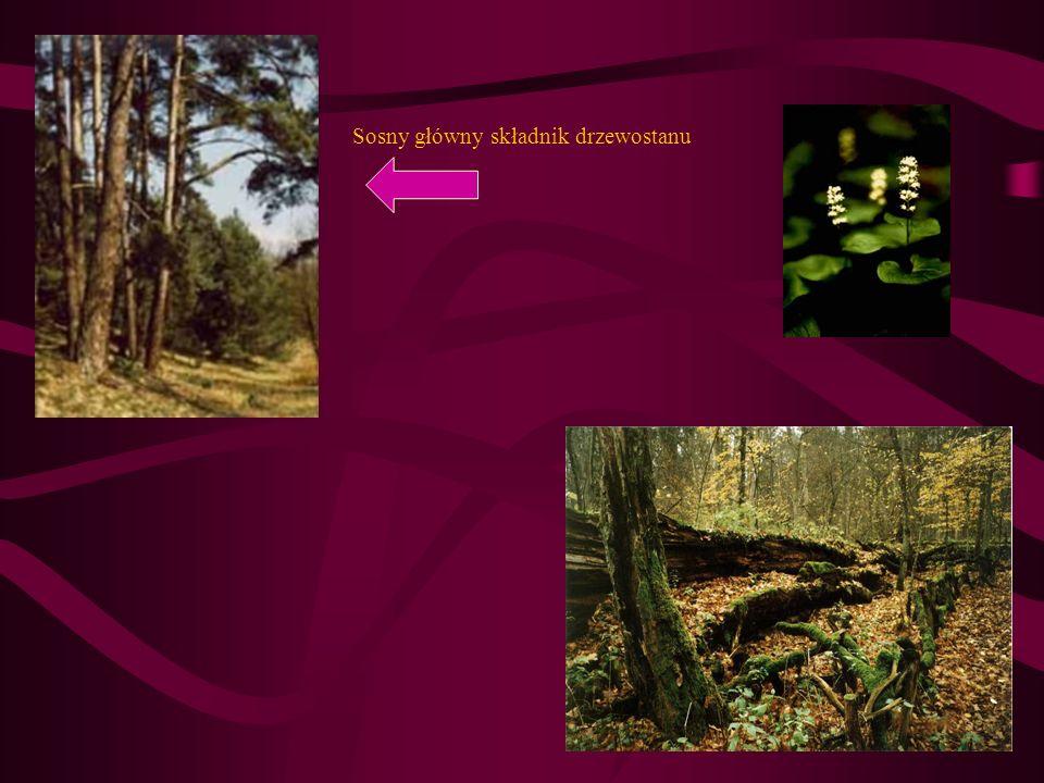 Sosny główny składnik drzewostanu