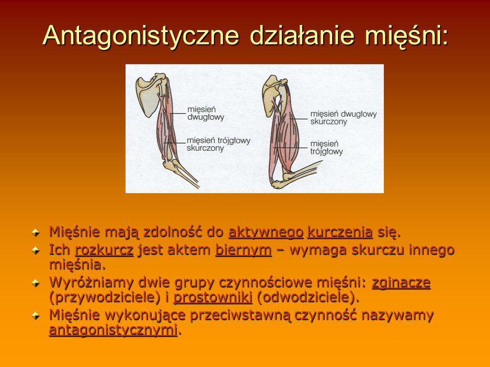 Antagonistyczne działanie mięśni: