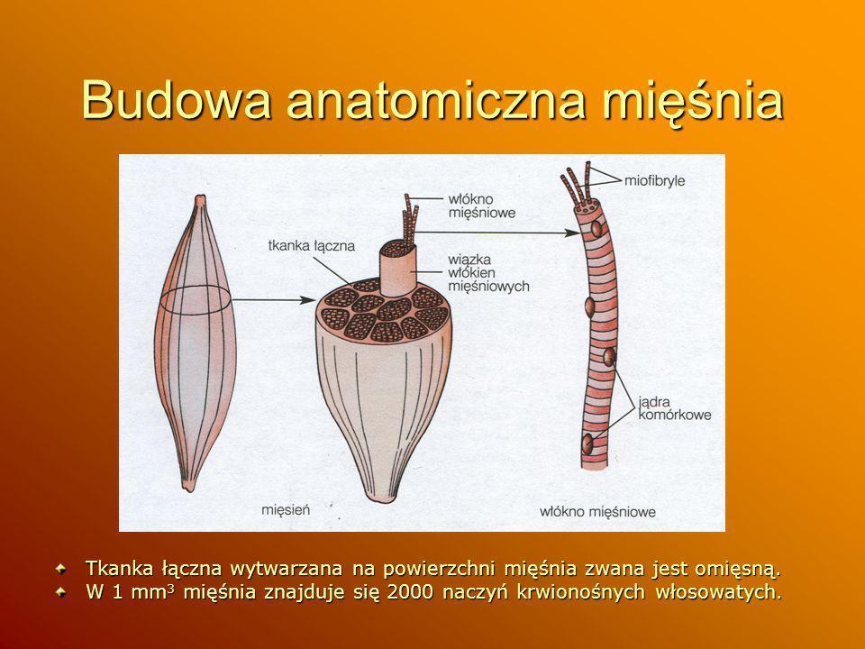 Budowa anatomiczna mięśnia
