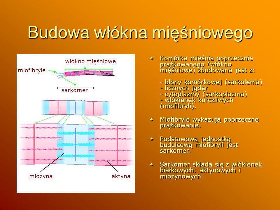 Budowa włókna mięśniowego