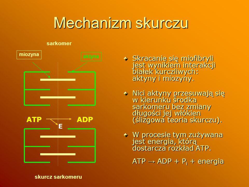 Mechanizm skurczu sarkomer. miozyna. aktyna. Skracanie się miofibryli jest wynikiem interakcji białek kurczliwych: aktyny i miozyny.