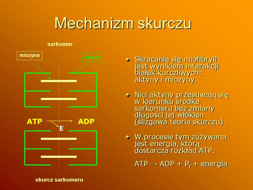 Mechanizm skurczusarkomer. miozyna. aktyna. Skracanie się miofibryli jest wynikiem interakcji białek kurczliwych: aktyny i miozyny.