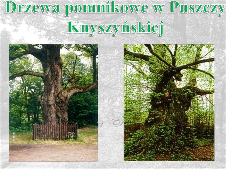 Drzewa pomnikowe w Puszczy Knyszyńskiej